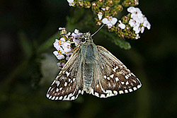 Grizzled Skipper(Pyrgus malvae)